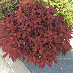 What do you like about coleus? It's versatility? Color? Texture?