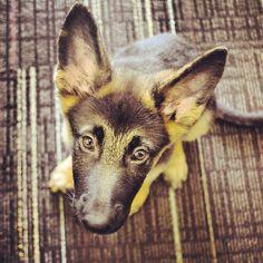 Meet Rayna, a 10-week-old German Shepherd who loves to play.