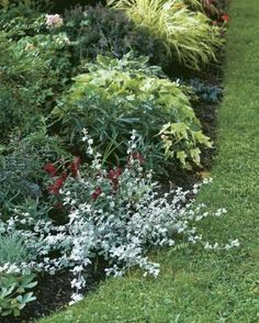 Silvery licorice plant looks good with almost anything. Here it's planted some next to a dark-foliaged snapdragon.