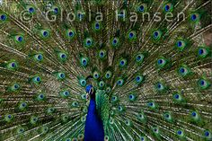 Another peacock, by Gloria Hansen
