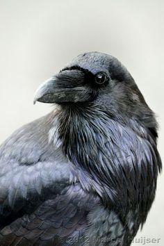 Wildlife: Common raven (Corvus corax), Wyoming, USA