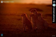#Repost @conservationorg with @repostapp  Every other Friday @ConservationOrg's Photo Editor will share with you their #PhotoftheWeek! This week's photo is from UK based photographer Andy Rouse (@wildmanrouse). Andy has been passionate about wildlife and aviation photography for 20 years traveling and working world-wide.  In this shot three cheetahs observe the sunset with their mother in Maasai Mara Kenya.  For more information on Andy's work click on the link in our bio and follow him at…