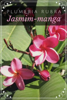 37745d6d99 Jasmim-manga – Plumeria rubra Nome Científico  Plumeria rubra Nomes  Populares  Jasmim-