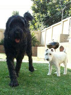 Black Russian Terrier & Wirehair Terrier