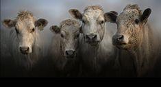 Bovine by Jojo Filer Cooper Cow Photos, Cow Pictures, Animal Pictures, Farm Animals, Animals And Pets, Cute Animals, Photo Animaliere, Cow Painting, Farm Art