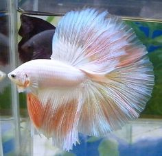 Pink and White Over Halfmoon Betta. Fish Tanks, Aquarium Fish Tank, World Wild Life, Betta Fish Types, Half Moons, Beta Fish, Siamese Fighting Fish, Halfmoon Betta, Guppy