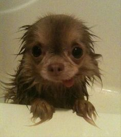 Bath time baby. Chihuahua