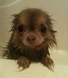 Bath time baby. Chihuahua