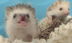 {hedgehog in pre-yawn} Sunday Smile