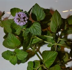 Mighty Mint: How to Grow, Harvest, and Use Mint...(Plus, how to make mint tea.)