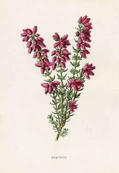 1890's botanical print: heather