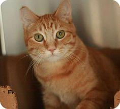 Canoga Park, CA - Domestic Shorthair. Meet Tango, a cat for adoption. http://www.adoptapet.com/pet/9976109-canoga-park-california-cat