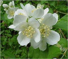 flowers from the mock orange bush.  the fragrance is the heavenly scent of orange blossom.