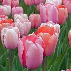 """Tulpenmischung 'Gentle Giants' - Jumbo Tulpen mit zartrosa bis pfirsichfarbenen Blüten. Sie sind einerseits besonders groß, wirken dabei aber sehr zierlich."""" - Carlos van der Veek. Pflanzzeit ist im Herbst - online bestellbar bei www.fluwel.de"""