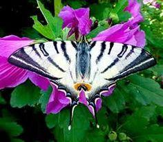 Risultati immagini per farfalle
