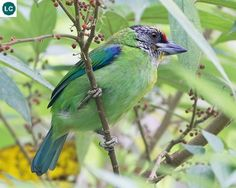 https://www.facebook.com/WonderBirds-171150349611448/ Cu rốc đầu đỏ (Cu rốc họng vàng); Họ Cu rốc châu Á-Megalaimidae; tây-nam Trung Quốc, đông-bắc Ấn Độ và Đông Nam Á || Golden-throated barbet (Megalaima franklinii); IUCN Red List of Threatened Species 3.1 : Least Concern (LC)(Loài ít quan tâm)