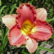 Accent on Style Daylily