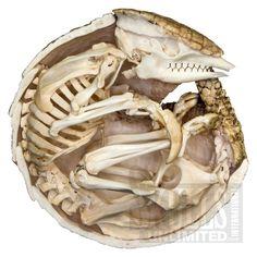 Three-banded Armadillo Articulated Skeleton (Tolypeutes matacus) | Skulls Unlimited 1-800-659-SKULL