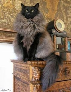 Beautiful Long-Haired Cat - this doesn't even look real! Looks like my Azrael wearing a fur vest =P