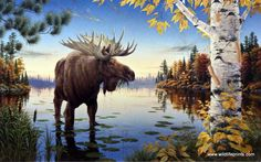 "A large moose hangs out knees deep in the lake in Mark Daehlin's Autumn Majesty This print is signed and numbered and is available unframed in size 21.5""x13.5"""