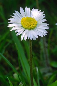 Daisy. Got to love the daisy, reminds me of childhood summers making daisy chains