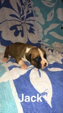 Litter Of 6 Boxer Puppies For Sale In Westminster Sc Adn 32637 On