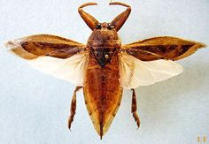 Ventral view of an adult Lethocerus uhleri (Montandon). (Note banded middle and hind legs).