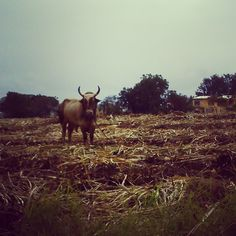 Big Bull #CountryBoy #CountryLife #Cowboy #Redneck #Country