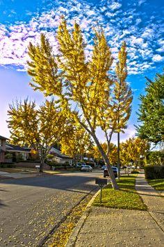 autumn gold ginkgo biloba tree - Google Search Street Trees, Ash Tree, Landscaping With Rocks, Sidewalk, Statue, Landscape, Autumn, Image, Google Search