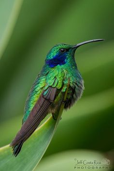 Green-violet Ears (Hummingbird) by Jeff Costa Rica Photography, via Flickr.  /rhonda/ Davis