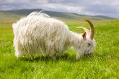 Iceland's Háafell Goat Farm is dedicated to saving the endangered breed of Icelandic Goats. And now it may have to close.