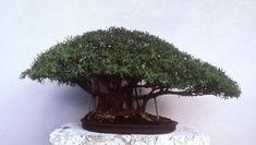 This is the first Ficus nerifolia to be used as bonsai ... created by Joe Samuels