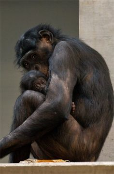 Bonobo mother and baby                                                                                                                                                                                 Mehr