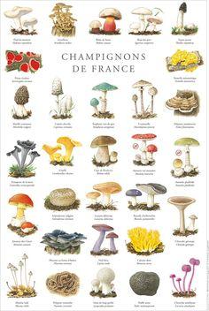 Champignons Mushroom Drawing, Mushroom Art, Mushroom Fungi, Botanical Drawings, Botanical Prints, Wild Mushrooms, Stuffed Mushrooms, Poisonous Mushrooms, Mushroom Pictures