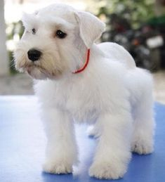 White Schnauzer Puppy so cute looks like a stuffed toy just so so adorable