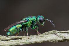 Jewel Wasp by Shalshelan