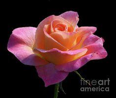 Profusion by Doug Norkum #pink #rose