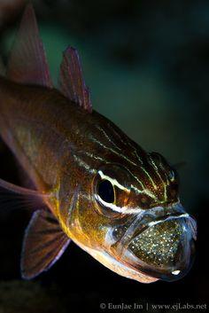 Cardinal Fish by EunJae