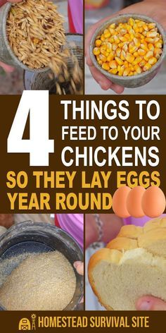 Contrary to popular belief, chickens can lay eggs year round. You just have to keep them healthy and happy by feeding them the right foods. food chicken 4 Things to Feed to Your Chickens So They Lay Eggs Year Round Food For Chickens, Laying Chickens, Raising Backyard Chickens, Keeping Chickens, Pet Chickens, What To Feed Chickens, Bantam Chickens, Urban Chickens, Protein For Chickens