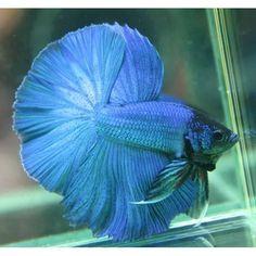 Beautiful Betta Fishes