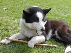 Conheça a raça Cão de Ursos da Carélia