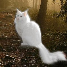 This gorgeous creature is a Norwegian Forest Cat. I am owned by one of these, they are amazingly bright and very loyal. They can look like angels but they are fearsome hunters..mine catches squirrels