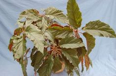 Begonia thiemei | Peace Tree Farm
