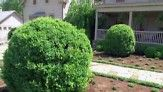 Martha shows how to plant and properly care for boxwoods.