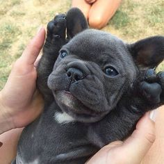 bulldog puppy jumps into owner's arms. Shows no hesitation second time around! French Bulldog puppy - more at French Bulldog puppy - more at French Bulldog Blue, French Bulldog Puppies, Cute Dogs And Puppies, I Love Dogs, Doggies, Puppies Puppies, Frenchie Puppies, Mini French Bulldogs, Cute Baby Animals