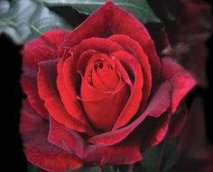 'Mr Lincoln' - a hybrid tea rose with velvety texture and strong fragrance. Great for cutting. Zones 5 - 10.