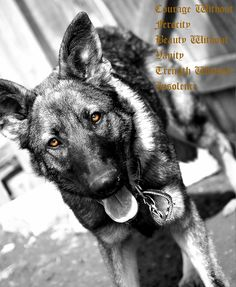 CZech German Shepherd Czech German Shepherd, German Shepherds, German Shepherd Dogs, Golden Retriever, Family Dogs, Diamond Are A Girls Best Friend, Dog Stuff, Puppy Love, Best Dogs