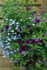 Basket Mix Cool Blues-Plants Buy 1 Get 1 FREE! Blue Plants, Buy 1 Get 1, Hanging Baskets, Outdoor Living, Blues, Patio, Create, Stuff To Buy, Color