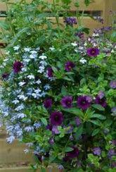 Basket Mix Cool Blues-Plants Buy 1 Get 1 FREE!