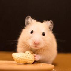 Can I eat this? 「これ食べて良い?」 * * #ナッパ#nappa#ゴールデンハムスター#ハムスター#キンクマ#小動物#かわいい#ふわもこ部#癒し#펫스타그램#life#instacute#instapet#Halloween#goldenhamster#syrianhamster#hamster#hammy#happy_pets#倉鼠#petscorner#pet#bestanimal#animal#adorable#awww#love#socute#cute#followme